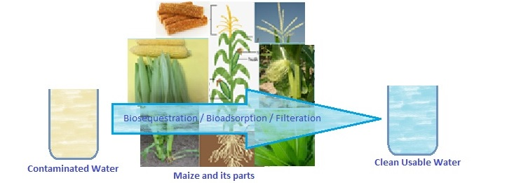 Biosequestration by corn plant