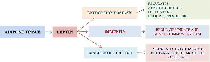 leptin in male reproduciton
