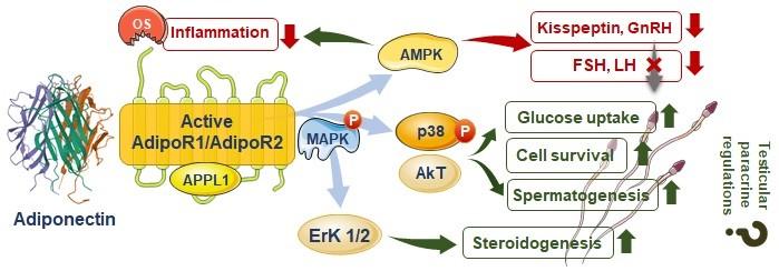 adiponectin in male infertility