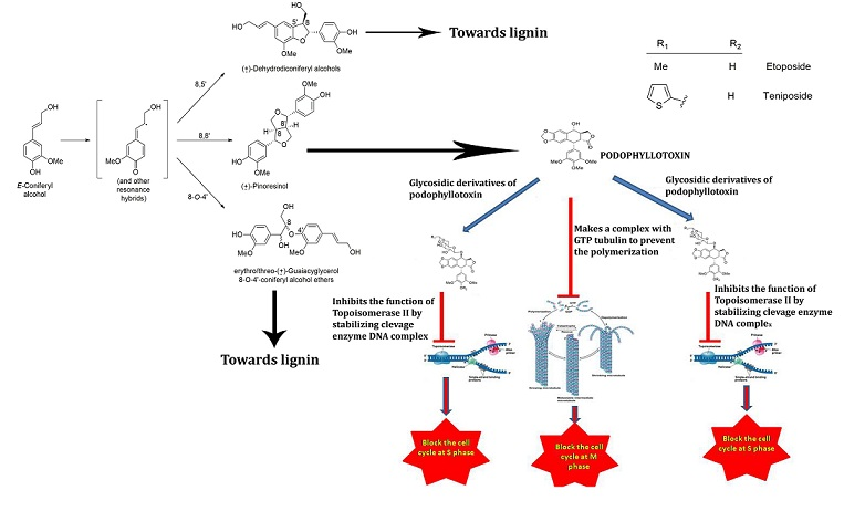 lignans podophyllotoxins