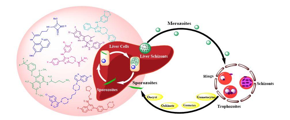 liver stage malaria drugs